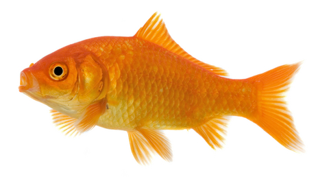 goldfish rosey reds fish shipping overnight lonoke arkansas feeder goldfish koi crawfish lonoke arkansas